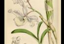 Hoàng Thảo Xoắn – Dendrobium Tortile