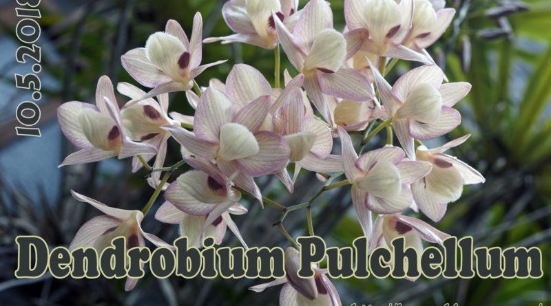 Hoàng thảo Thái Bình – Hoa thức ngày ngủ đêm