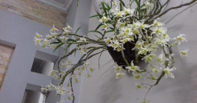 Hoàng Phi Hạc ( Dendrobium signatum )